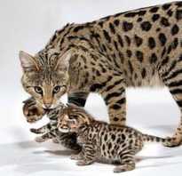 Сколько стоит порода кошек саванна